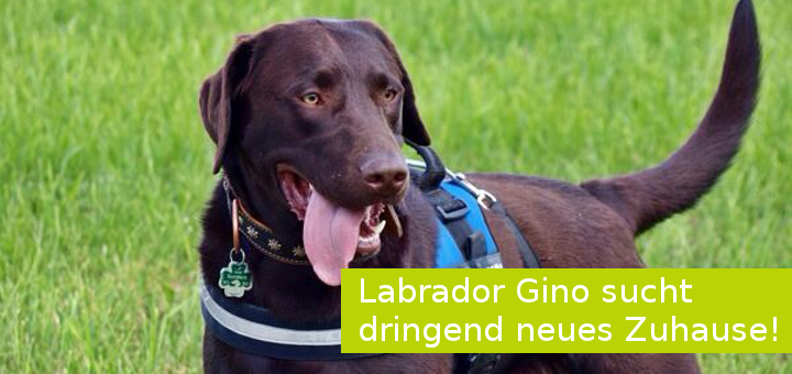 Artikel Labrador Gino