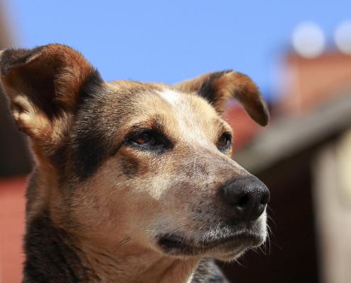 Schäferhund Mix Hunde-Fotoshooting Portrait - Photos by Nature - Tierfotografie Kai Völker im Vogelsberg